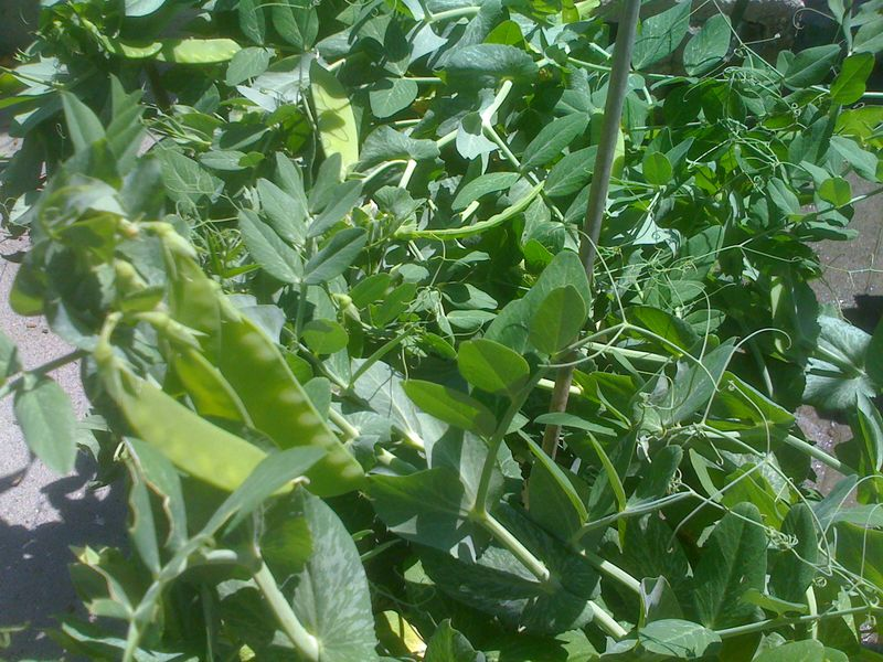 snow pea plant ready for harvest