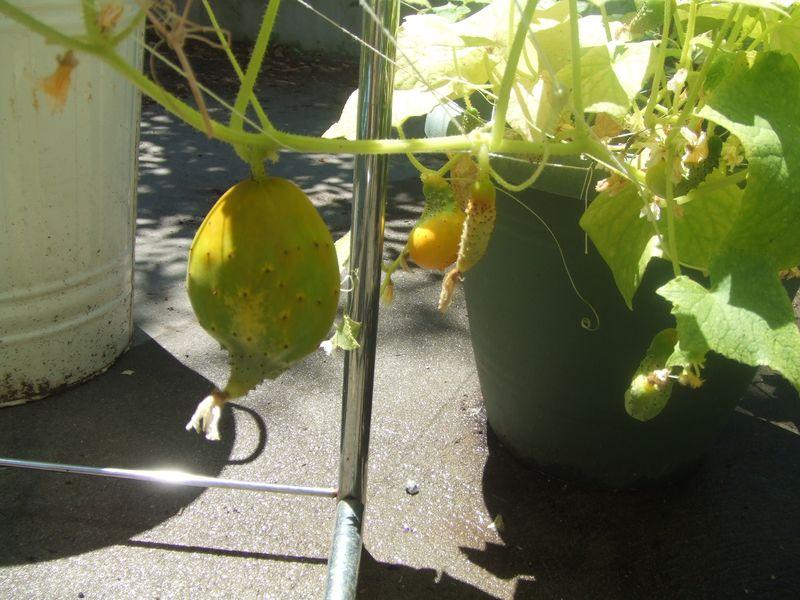 misshapen cucumbers