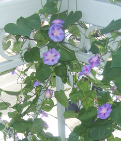 farmtina morning glories