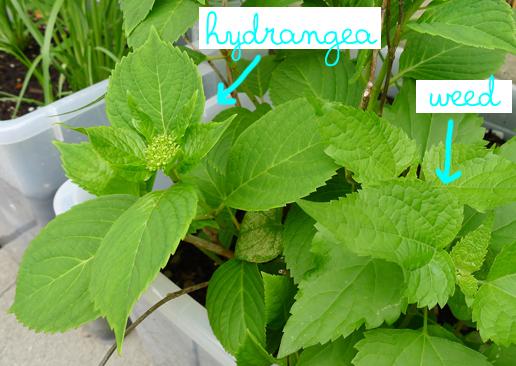hydrangea weed