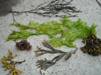 seaweed-joann-fugazzotto