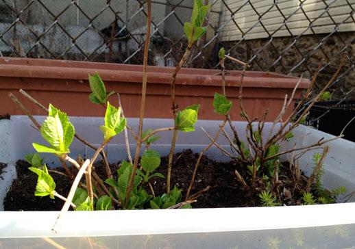 Spring-hydrangeas